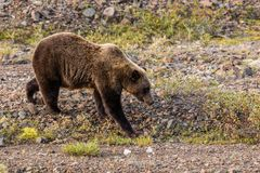 Grizzly Bear Walking Royalty Free Stock Photos