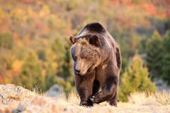 Grizzly Bear walking in meadow Stock Photo