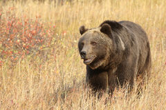 Grizzly Bear walking in meadow Royalty Free Stock Photos