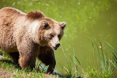 Grizzly Bear Walking Beside Pond Royalty Free Stock Images