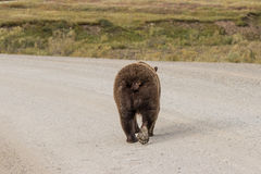 Grizzly Bear Walking on Road Stock Photography