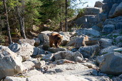 Grizzly bear walking on the rocks Stock Photos