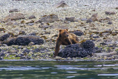 Grizzly bear walking on a sea shore in Glacier Bay National Park. Alaska Stock Photo