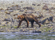 Grizzly bear walking on a sea shore in Glacier Bay National Park Royalty Free Stock Photography