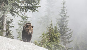 Grizzly bear. A grizzly bear walking in the snow in a forest stock images