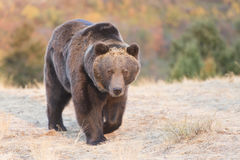 Grizzly Bear walking at sunrise Stock Photo