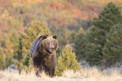 Grizzly Bear Walking at sunrise Stock Photos