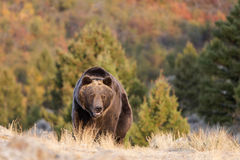 Grizzly Bear Walking at sunrise Royalty Free Stock Photography