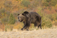 Grizzly Bear Walking at sunrise Stock Images