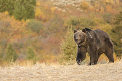 Grizzly Bear Walking at sunrise Stock Image