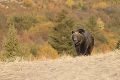Grizzly Bear Walking at sunrise Royalty Free Stock Photos