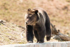 Grizzly Bear Walking at Yellowstone royalty free stock photos