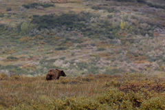 Grizzly bear wanders through tundra Stock Images