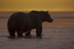Grizzly bear watching for Salmon during sunrise. A Grizzly bear watching out for Salmons during sunrise at Hallo Bay. The water is shallow due to low tide Stock Photography