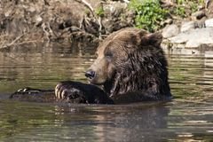 Grizzly Bear in Water. It's a sunny day for play -- a grizzly bear in a pool hangs onto a log with its long claws. Taken in southern British Columbia Stock Photos