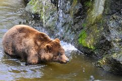 Grizzly Bear in the water Stock Photos