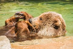 Grizzly Bear Water Fun Royalty Free Stock Image