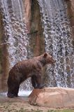 Grizzly bear and waterfall Stock Photo