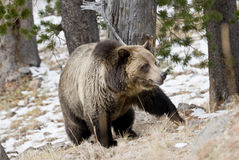 Grizzly Bear in the Wild. A large male grizzly bear stalks through a mountain forest in Yellowstone Park royalty free stock photography
