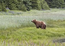 Grizzly Bear with Wildflowers in the background Stock Image