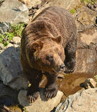 A grizzly bear in the wildlife refuge on Grouse Mountain, Vancouver Royalty Free Stock Image