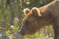 Grizzly Bear in the Wilds Stock Photo