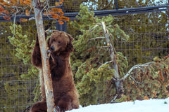 Grizzly Bear in the winter with snow life styleeat play chill Royalty Free Stock Images