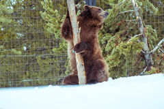 Grizzly Bear in the winter with snow life styleeat play chill Royalty Free Stock Image
