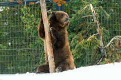 Grizzly Bear in the winter with snow life styleeat play chill Stock Photography