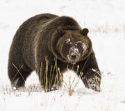 Grizzly bear ( 399) in deep snow with paw up slightly Stock Photo