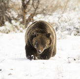 Grizzly bear ( 399) in deep snow with paw up slightly) in deep s Stock Photo