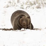 Grizzly bear ( 399) digging in the ground for nuts, tubers and s Royalty Free Stock Photo