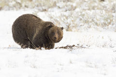 Grizzly bear ( 399) digging in the ground for nuts, tubers and s Royalty Free Stock Photography