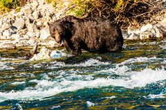 Free Grizzly Bear Yellowstone Lamar River Royalty Free Stock Photos - 160313148