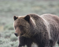 Grizzly Bear in Yellowstone National Park. A grizzly bear, also known as a brown bear, in Yellowstone National Park. The bear is in a field of sagebrush stock image