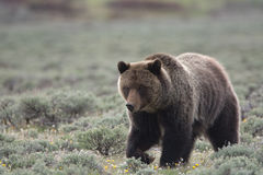 Grizzly Bear in Yellowstone National Park. A grizzly bear, also known as a brown bear, in Yellowstone National Park. The bear is in a field of sagebrush stock photography