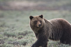 Grizzly Bear in Yellowstone National Park. A grizzly bear, also known as a brown bear, in Yellowstone National Park. The bear is in a field of sagebrush royalty free stock photos