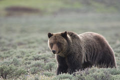 Grizzly Bear in Yellowstone National Park. A grizzly bear, also known as a brown bear, in Yellowstone National Park. The bear is in a field of sagebrush stock images