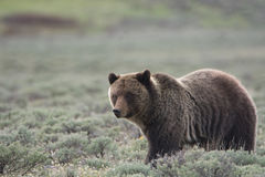 Grizzly Bear in Yellowstone National Park. A grizzly bear, also known as a brown bear, in Yellowstone National Park. The bear is in a field of sagebrush stock photos