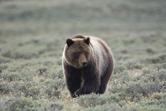 Grizzly Bear in Yellowstone National Park. A grizzly bear, also known as a brown bear, in Yellowstone National Park. The bear is in a field of sagebrush stock photo