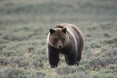 Grizzly Bear in Yellowstone National Park. A grizzly bear, also known as a brown bear, in Yellowstone National Park. The bear is in a field of sagebrush royalty free stock images