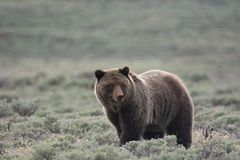 Grizzly Bear in Yellowstone National Park. A grizzly bear, or brown bear, in Yellowstone National Park. The bear stands in a field of sagebrush royalty free stock photos