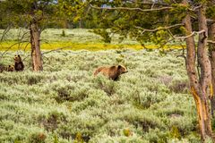 Grizzly bear in Yellowstone National Park. Wyoming, USA Royalty Free Stock Photo