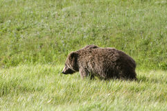 Grizzly bear in Yellowstone National Park Royalty Free Stock Photos