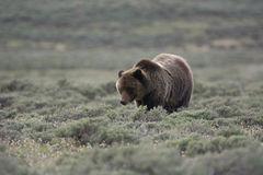 Grizzly Bear in Yellowstone National Park. A grizzly bear in Yellowstone National Park. The bear stands front and center looking to the right. The bear is in a stock photos