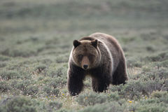 Grizzly Bear in Yellowstone National Park. A grizzly bear in Yellowstone National Park. The bear stands front and center looking to the right. The bear is in a stock image