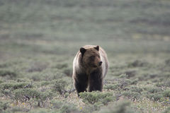 Grizzly Bear in Yellowstone National Park. A grizzly bear in Yellowstone National Park. The bear stands front and center looking to the right. The bear is in a stock photography