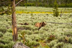 Grizzly bear in Yellowstone National Park. Wyoming, USA royalty free stock images