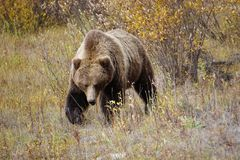 Grizzly Bear in Yukon royalty free stock photos