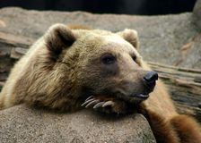 Grizzly Bear in zoo Royalty Free Stock Photography